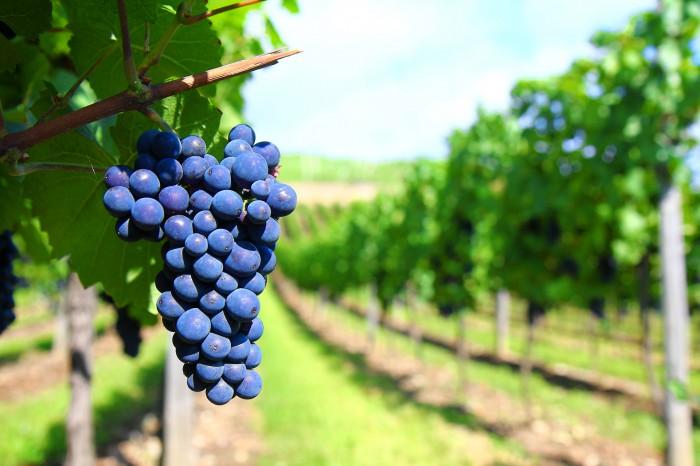 La viticulture et l'œnotourisme en Midi Languedoc Roussillon